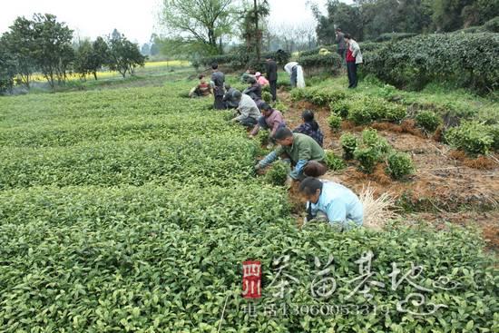 贵州纳雍种下今年第一批茶苗