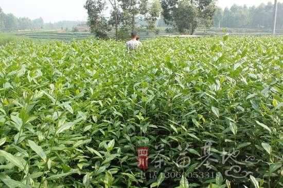 供应良种茶叶枝条 接穗