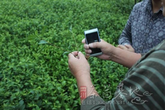来自四川雅安蒙顶山的茶苗在西藏这里试种成功