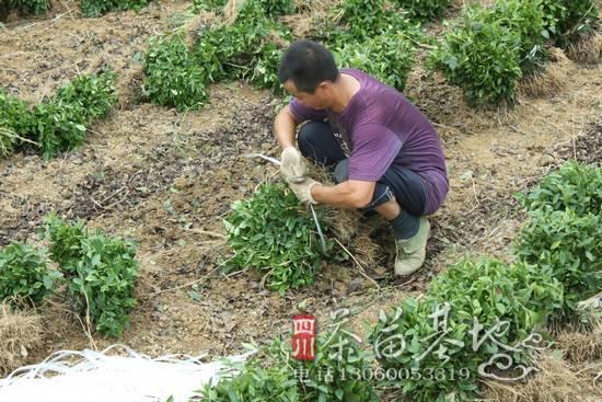 河南省掀起了种植茶苗的热潮