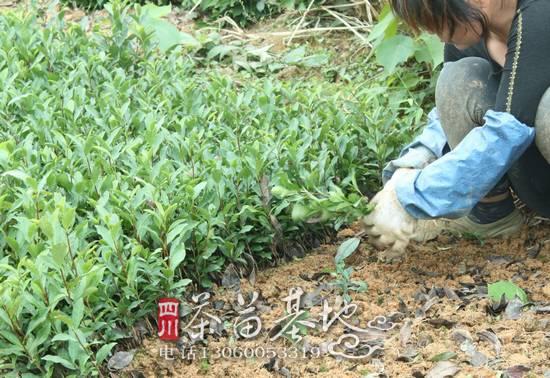 西湖龙井产区龙井43茶苗饱受煎熬