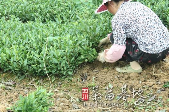 广西金秀县野生茶种植示范点茶苗长势良好