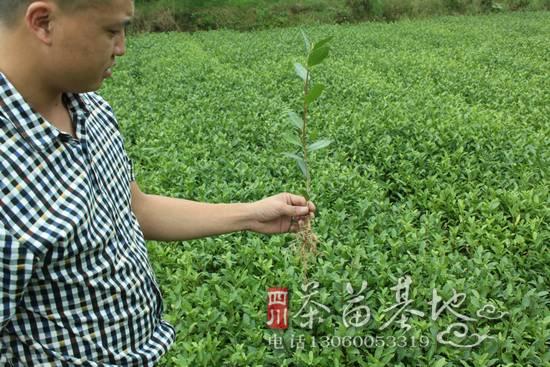 地膜覆盖法扦插繁育茶苗技术