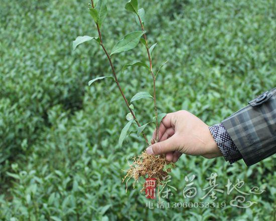 成都第二届手工制茶技能大赛在蒲江举行