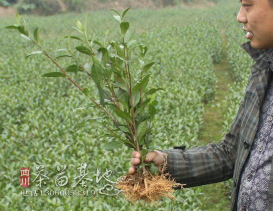 贵州南丹县茶苗成活率高