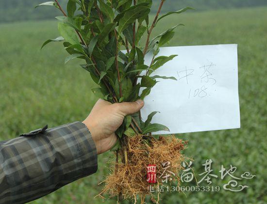 早白尖集团带动农民种植茶苗新品种