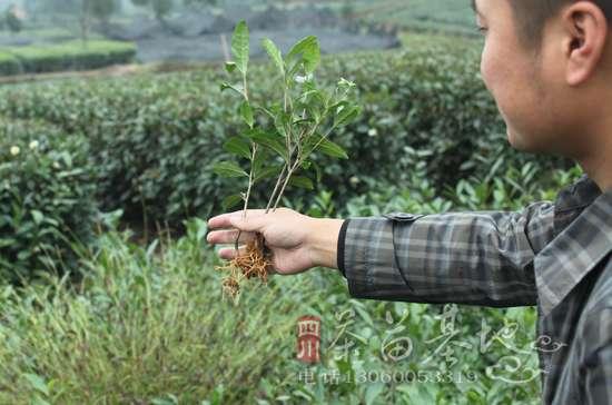 陕西汉中新建良种茶苗基地