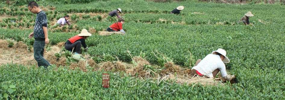 蒲江三鑫农业合作社展出茶苗新品种