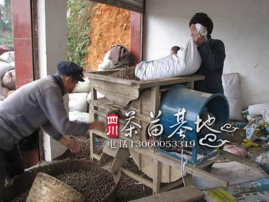 良种茶籽 茶种子
