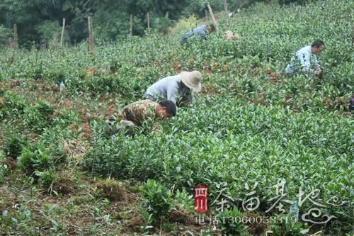 贵州引进茶苗新品种 提升茶产业竞争力