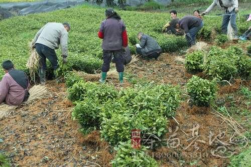 蒲江明年预计出圃茶苗十亿株