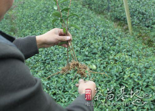 原产据蒲江县品牌最具经营力茶苗品牌名