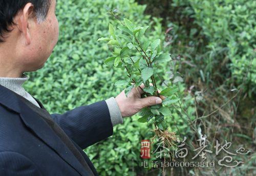 浅谈如何提高幼龄茶树种植成活率