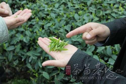 云南加大两种茶苗栽种力度