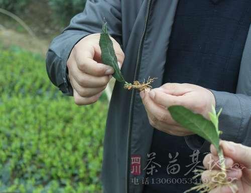 湖南祁阳县建社壮大实力 促进白茶发展