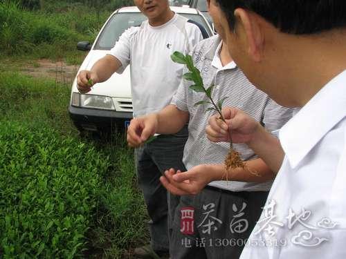 凤冈锌硒茶被评为2014中国茶叶最具发展力品牌