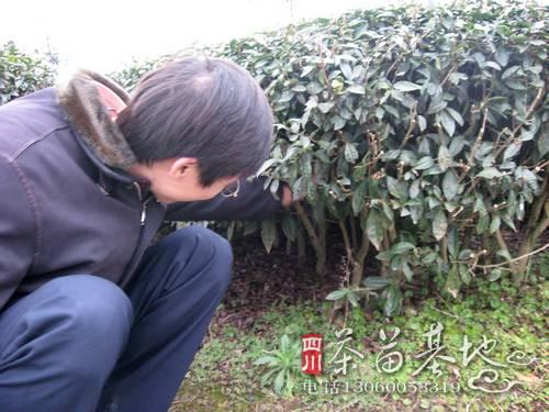 陕西汉中地区实验新型茶苗栽种技术