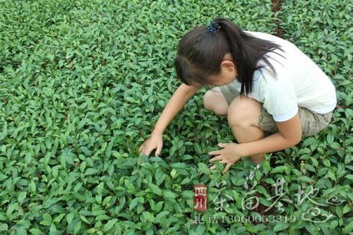 提高茶苗移栽成活率的技术
