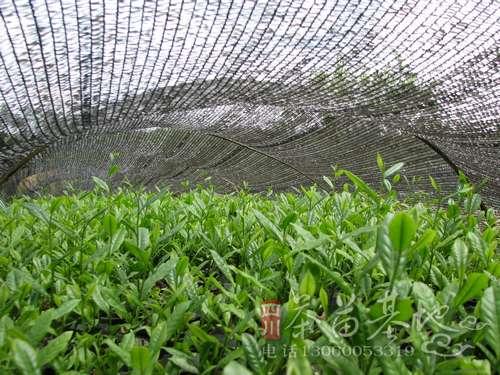提高茶苗种植成活率的几点措施