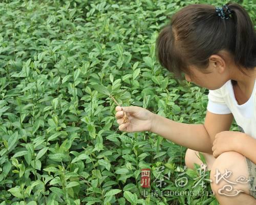 北方茶区无系茶苗栽培技术