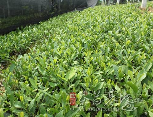 四川新植茶园的现状与发展对策