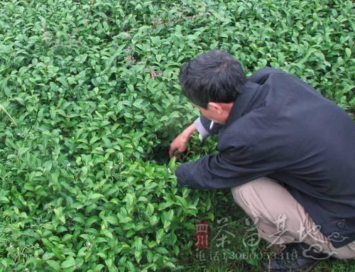 如此茶苗产品不夺茶之真香这已经是成党委现
