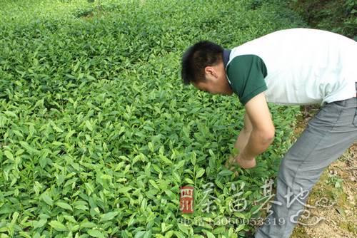 茶苗根线虫防治方法